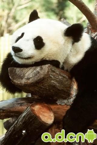 超萌大熊猫动态壁纸